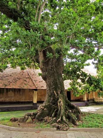 Cây bàng trong trại Phú Hải